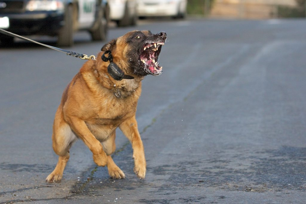 Snarling dog about to bite